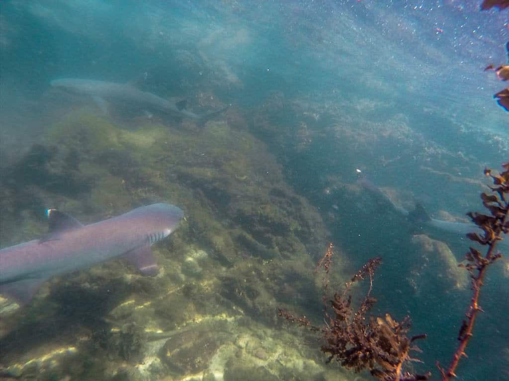 Snorkelling with Galapagos Sharks