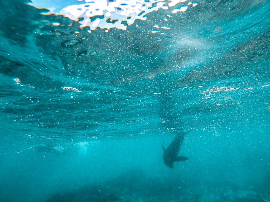 Sea Lion Swimming at Concha De Perla on Isabela Island Galapagos