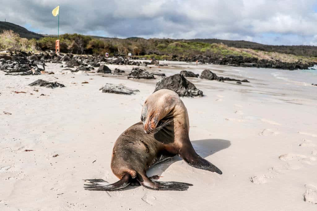 Photogenic Sea Lion on Puerto Chino beach on San Cristobal Galapagos Islands