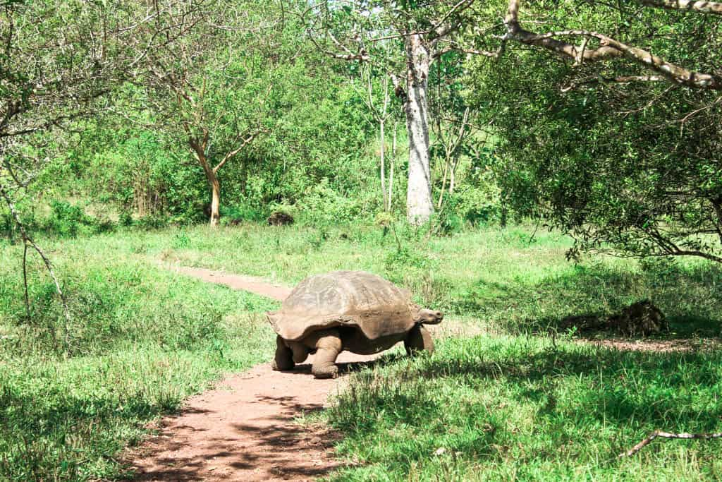 Walking Tortuga at El Chato Tortoise Reserve on the Galapagos Islands