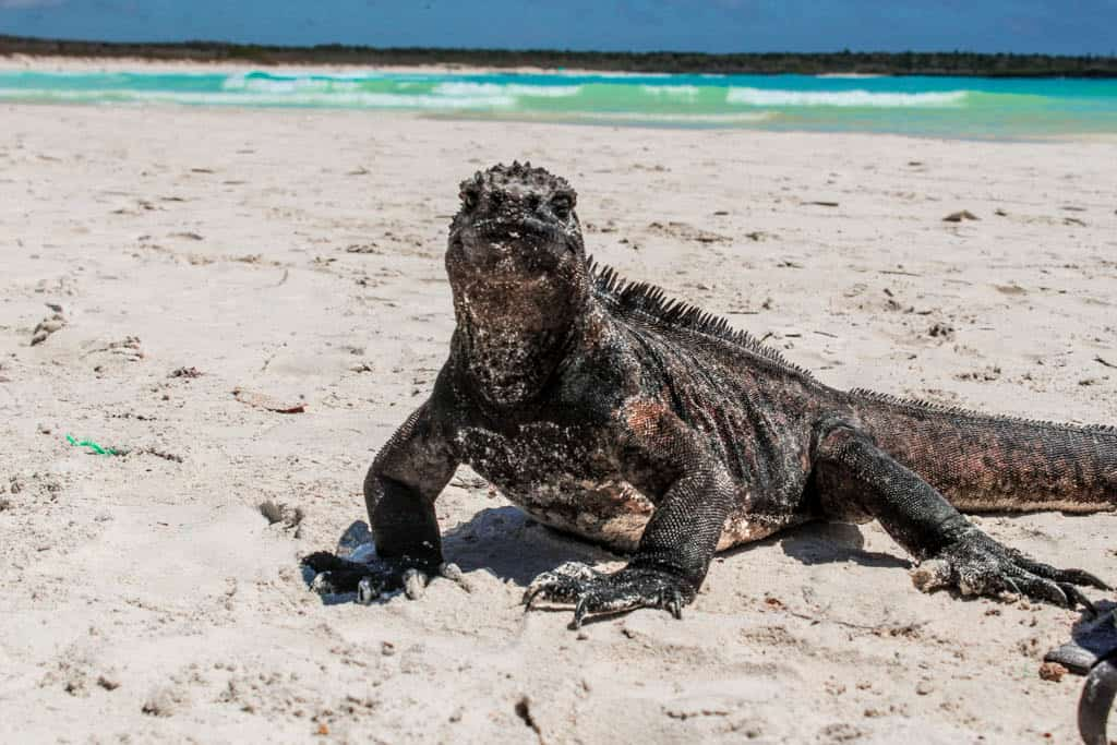 Marine Iguana on Tortuga Bay in Santa Cruz Galapagos Islands