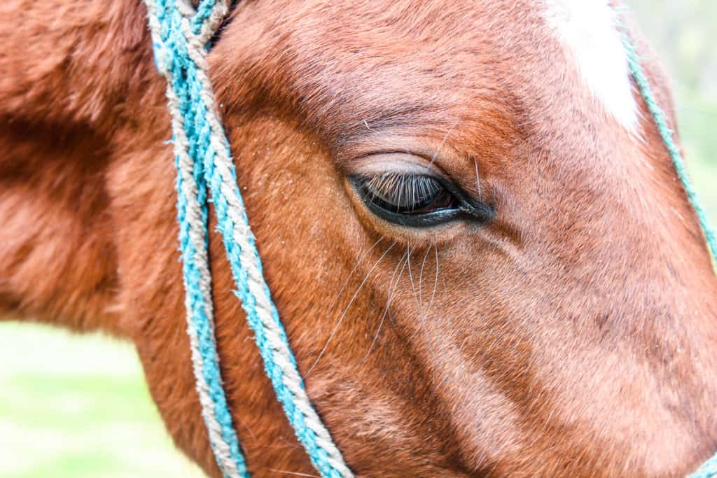 Beautiful eye of a horse on the quilotoa trek