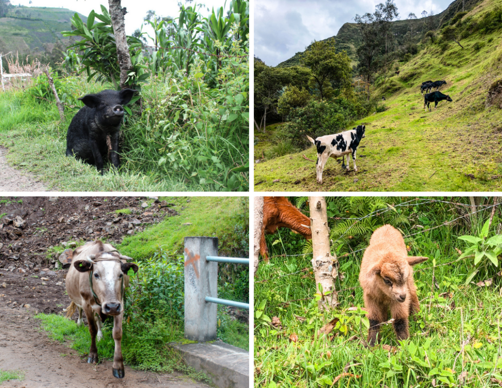Animals of the quilotoa loop