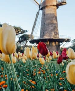 Tulip bloom at the windmill in Golden Gate Park