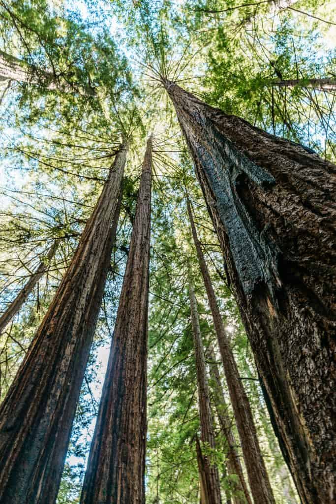 looking up at tall Redwood tress in Muir Woods